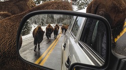 A herd of bison are seen walking along the middle of the road in the side-view mirror of a car in Yellowstone National Park.